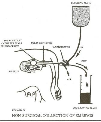 Bairnsley highlands embryo transfer et in highland beef cattle what exactly happens with et ccuart Choice Image