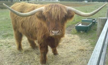 Bairnsley highlands horn shapes in highland cattle 5 year old steer with horns 17m tip to tip sciox Choice Image