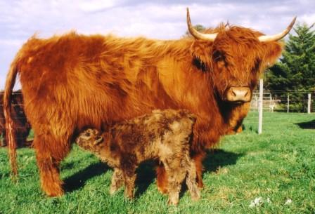 Acceptance of the calf.